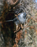 Blue Grey Gnatcatcher.jpg