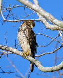 Cooper's Hawk on wading bird way.jpg