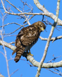 Cooper's Hawk on Wading Bird Way 2.jpg
