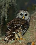 Barred Owl on Shady Oak 2.jpg