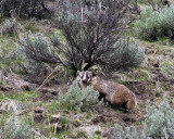 Badger Near Yellowstone Picnic Area.jpg