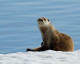 Otter at Mary Bay Portrait.jpg
