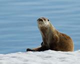 Otter at Mary Bay Portrait.jpg
