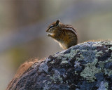 Chipmunk on a Rock.jpg