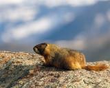 Marmot on a Rock.jpg