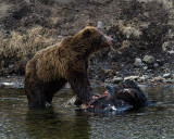 Second Grizzly at LeHardy Rapids Bison Carcass.jpg