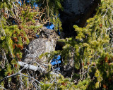 Great Horned Owl at Mammoth.jpg