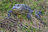 Gator Propped on a Stump 2.jpg