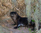 Otter on Marsh Rabbit Run.jpg