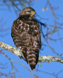 Red Shoulder Hawk on Marsh Rabbit Run.jpg