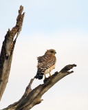 Red Shoulder Hawk on a Dead Tree.jpg