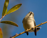 Gnatcatcher.jpg
