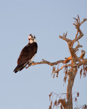 Osprey on Heron Hideout.jpg