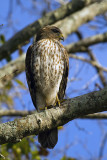 Hawk on Marsh Rabbit Run Vertical 2.jpg