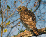 Hawk on Marsh Rabbit Run Closeup.jpg