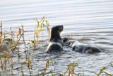 Otters in the Lake.jpg
