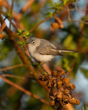 Gnatcatcher on Alligator Alley.jpg