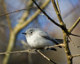 Gnatcatcher on Alligator Alley 2.jpg