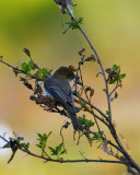 Eastern Phoebe on Marsh Rabbit Run.jpg
