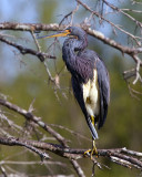 Tricolor Heron on Alligator Alley.jpg