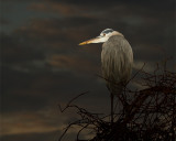Great Blue Heron Against the Dawn Sky.jpg