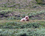Grizzly on the Hill.jpg