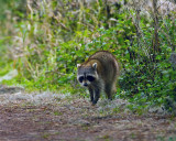 Racoon on Alligator Alley.jpg