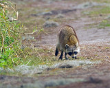 Racoon on Alligator Alley 2.jpg