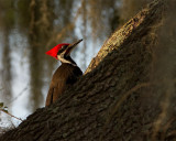 Pileated Woodpecker on a Branch.jpg