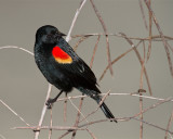 Redwing Black Bird.jpg