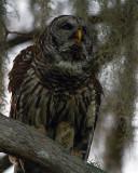 Barred Owl on a Branch on Alligator Alley.jpg