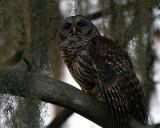 Barred Owl on a Branch on Alligator Alley 2.jpg