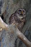Barred Owl in the Moss.jpg