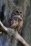 Barred Owl at Sunset.jpg