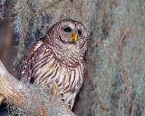 Barred Owl on Mossy Branch.jpg