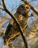 Barred Owl at Sunset Vertical.jpg