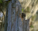 Barred Owl Mother in the Nest.jpg