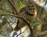 Barred Owl on Alligator Alley at Sunset 2.jpg