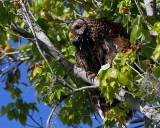 Barred Owl Momma on Alligator Alley.jpg