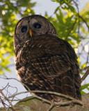 Barred Owl on Alligator Alley at Morning.jpg