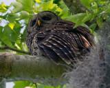 Barred Owl From Below.jpg