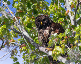 Barred Owl Momma in the tree on Allilgator Alley.jpg
