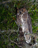 Great Horned Owl in the Tree.jpg