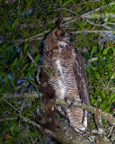 Great Horned Owl Looking to the Right.jpg