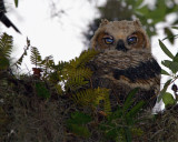 Great Horned Owl Chick on the Entrance Road.jpg