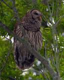 Barred Owl Male.jpg