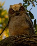 Great Horned Owl Fledgling Closeup.jpg