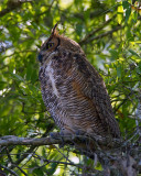 Great Horned Owl Looking Left.jpg
