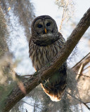 Barred Owl Male on a Branch on Alligator Alley.jpg