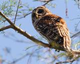 Barred Owl on the Tree.jpg